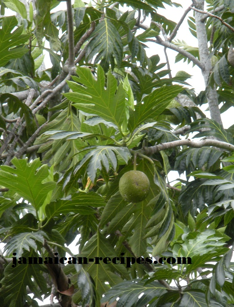Breadfruit  the wheat flour alternative